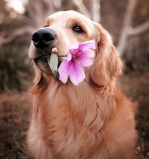 Golden Retriever with a Flower