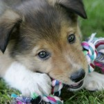 Reduce Your Puppy's Destructive Chewing