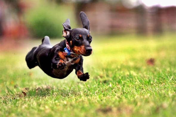 Hyperactivity in Dogs