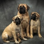 Engish Mastiff Puppies