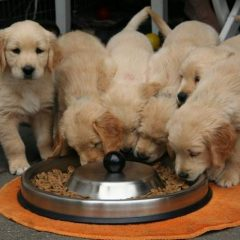 Puppies Eating